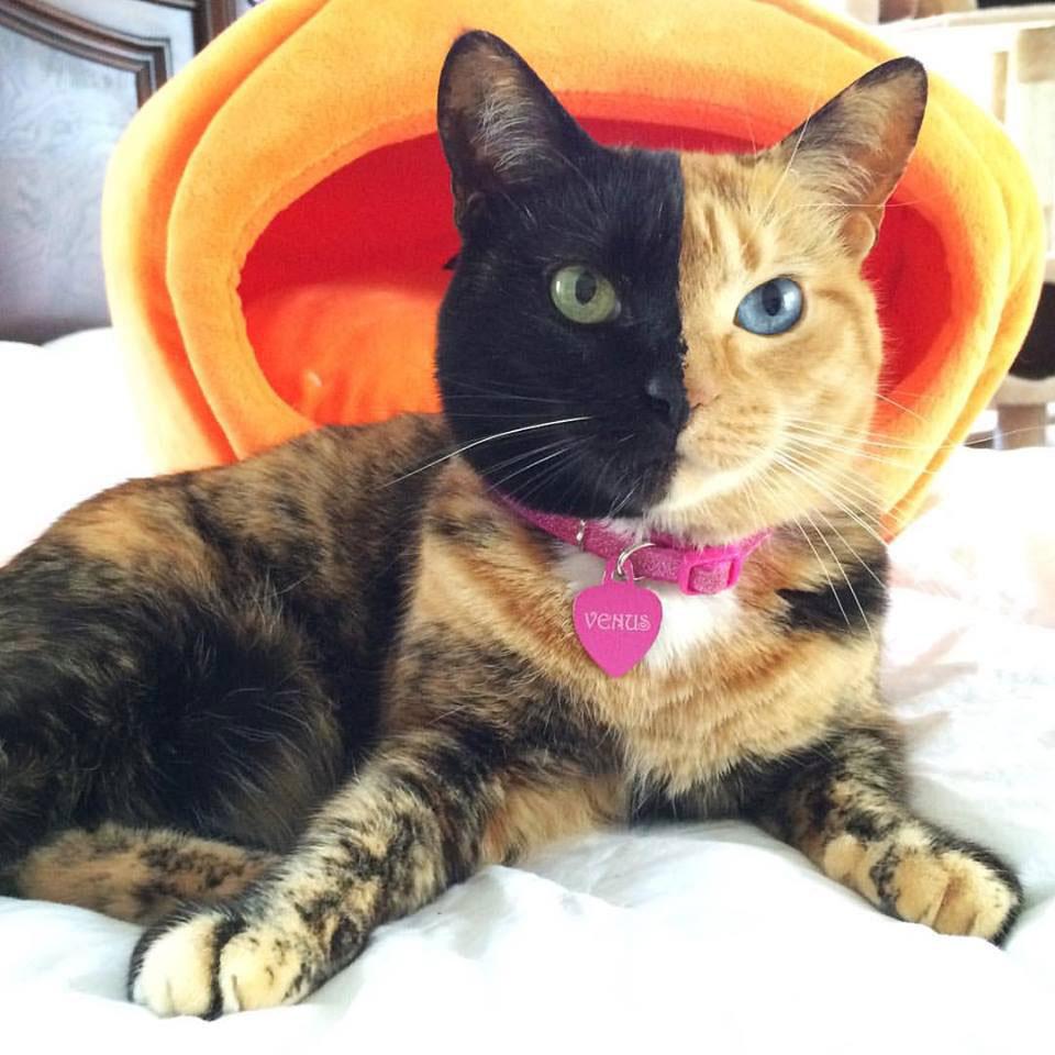 猫の毛色 ビーナス